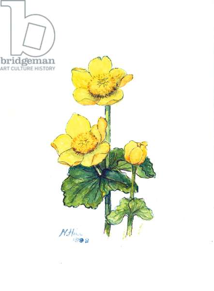 Marsh Marigold, 1998 (w/c on paper)