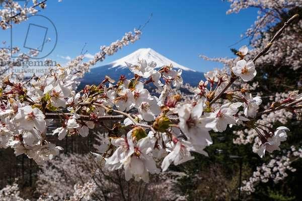 Cherry blossom and Mount Fuji, Kawaguchiko, Japan (photo)