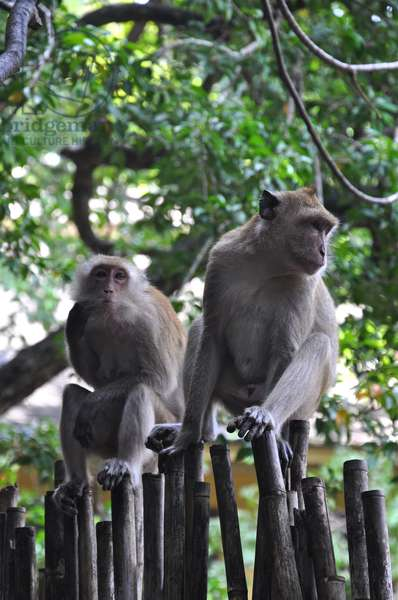 Monkeys, Railay Beach, Thailand (photo)