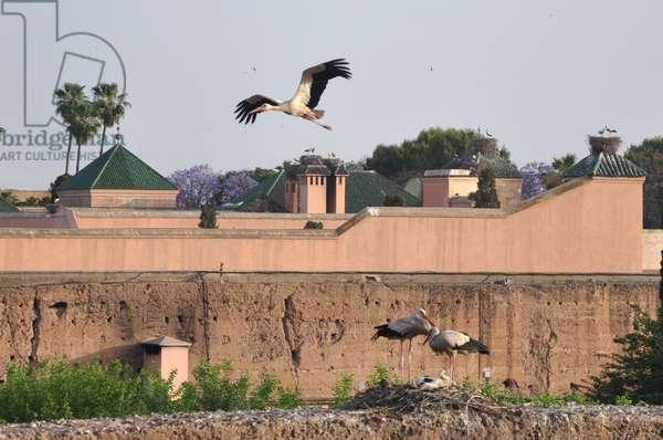 Storks at El Badi Palace, Marrakech, Morocco (photo)