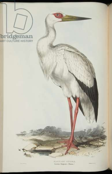 Maguari Stork, from 'The Birds of Europe' by John Gould, 1837 (colour litho)