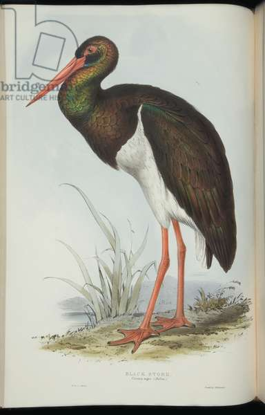 Black Stork, from 'The Birds of Europe' by John Gould, 1837 (colour litho)