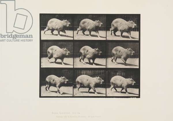 Plate 746 from Animal Locomotion, 1887 (collotype on paper)