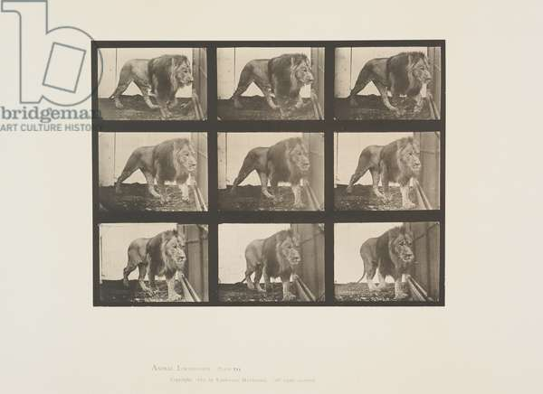 Plate 721 from Animal Locomotion, 1887 (collotype on paper)