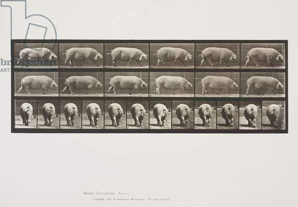 Plate 674 from Animal Locomotion, 1887 (collotype on paper)