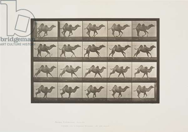 Plate 740 from Animal Locomotion, 1887 (collotype on paper)