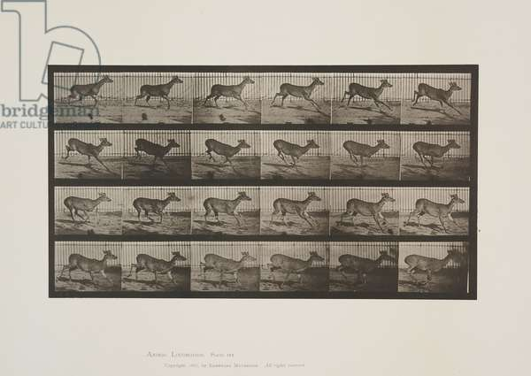 Plate 683 from Animal Locomotion, 1887 (collotype on paper)