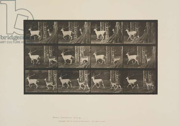 Plate 685 from Animal Locomotion, 1887 (collotype on paper)