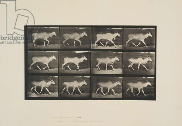 Plate 696 from Animal Locomotion, 1887 (collotype on paper)