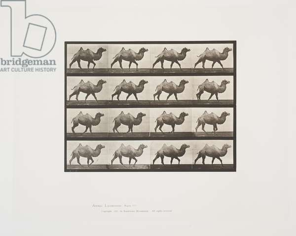 Plate 737 from Animal Locomotion, 1887 (collotype on paper)