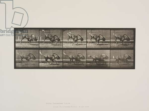 Plate 702 from Animal Locomotion, 1887 (collotype on paper)