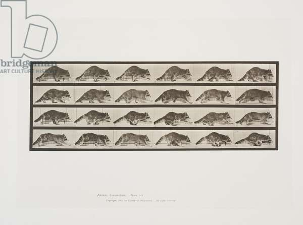 Plate 744 from Animal Locomotion, 1887 (collotype on paper)
