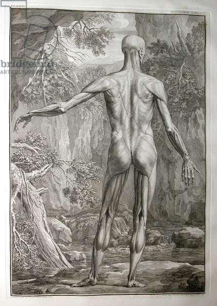 Albinus I, Pl. V: Musculature, illustration from 'Tabulae sceleti et musculorum corporis humani', by Bernhard Siegfried Albinus (1697-1770), published by J.&H. Verbeek, bibliop., Leiden, 1740 (engraving)