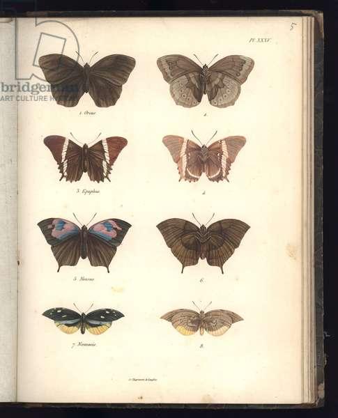 Lepidoptera, Pl. XXXV, illustration from 'Recueil d'observation de zoologie et d'anatomie compare, Deuxieme Partie', by Al. v. Humboldt et A. Bonplant, Paris, 1821 (colour engraving)