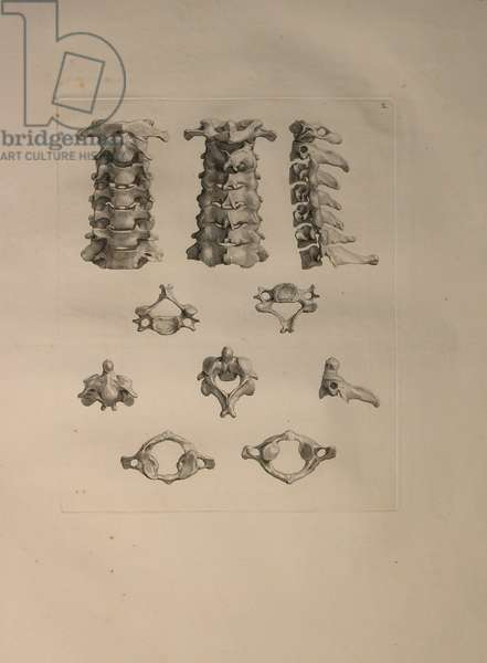 Albinus II, Pl. X: Cervical vertebra, illustration from 'Tabulae ossium humanorum', by Bernhard Siegfried Albinus (1697-1770), published by J.&H. Verbeek, bibliop. 1753, Leiden, 1729-1753 (engraving)