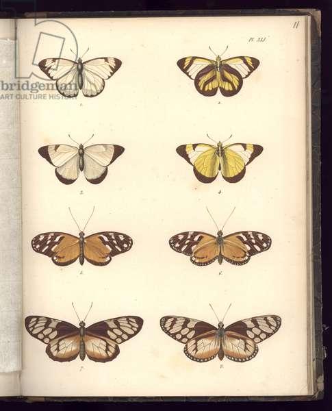 Lepidoptera, Pl.XLI, illustration from, 'Recueil d'observation de zoologie et d'anatomie comparee, Deuxieme Partie, by Al. v. Humboldt et A. Bonplant, Paris, 1821 (colour engraving)
