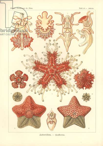 Asteridea - Sea Star, Pl.40. from 'Kunstformen der Natur', engraved by Adolf Giltsch, published 1904 (colour litho)