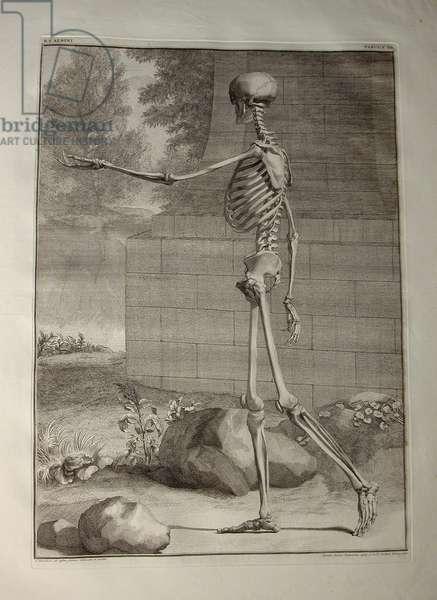 Albinus I, Pl. III: Skeleton, illustration from 'Tabulae sceleti et musculorum corporis humani', by Bernhard Siegfried Albinus (1697-1770), published by J.&H. Verbeek, bibliop., Leiden, 1747 (engraving)