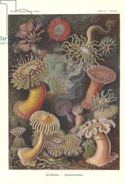 Actiniae - Sea anemone, Pl.49, from 'Kunstformen der Natur', engraved by Adolf Giltsch, published 1904 (colour litho)