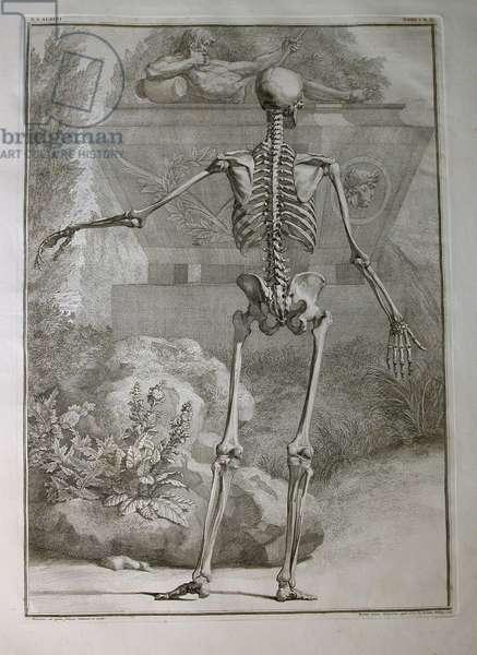 Albinus I, Pl. II: Skeleton, illustration from 'Tabulae sceleti et musculorum corporis humani', by Bernhard Siegfried Albinus (1697-1770), published by J.&H. Verbeek, bibliop., Leiden, 1740 (engraving)