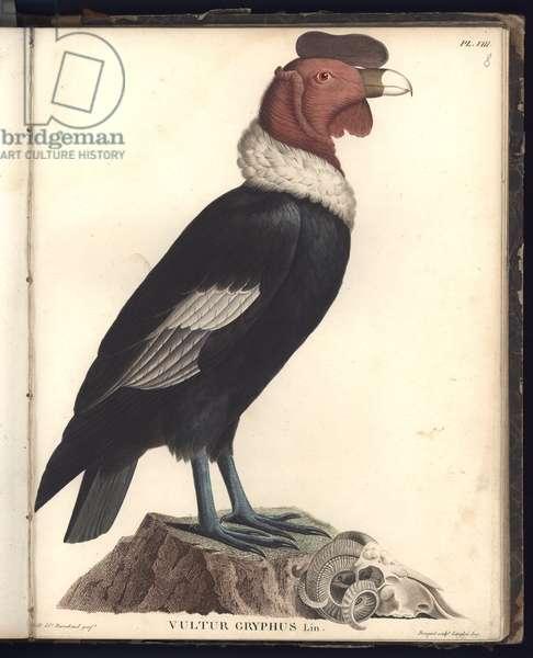 The Male Condor (Vultur gryphus, LIN.), Pl.VIII, illstration from 'Beobachtungen aus der Zoologie und Vergleichenden Anatomie gesammelt auf einer Reise nach den Tropen-Laendern des neuen Kontinents, in den Jahren 1799, 1800, 1801, 1802, 1803 und 1804', by Al. von Humboldt und A. Bonplant, engraved by F.G. Cotta, printed by Levrault, Schoell & Compagnie, Paris, 1806 (colour engraving)