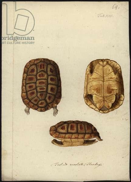 Homopus areolatus, before 1792 (w/c on paper)