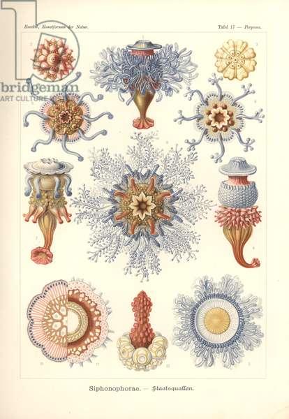 Siphonophorae - Jelly Fish, from 'Kunstformen der Natur', engraved by Adolf Giltsch, published 1904 (colour litho)