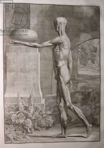 Albinus I, Pl. IX: Musculature, illustration from 'Tabulae sceleti et musculorum corporis humani', by Bernhard Siegfried Albinus (1697-1770), published by J.&H. Verbeek, bibliop., Leiden, 1743 (engraving)
