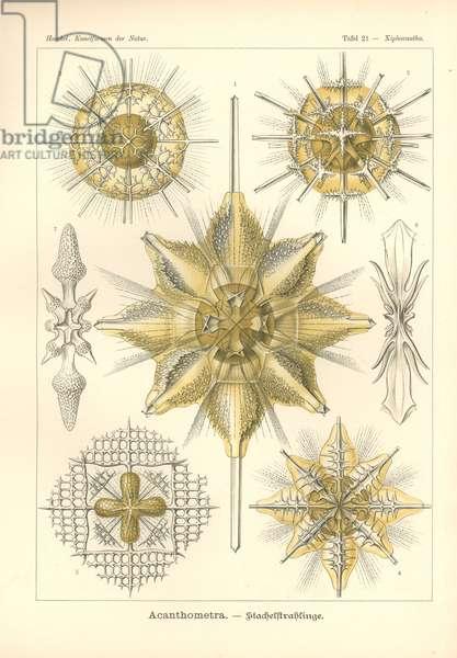 Acanthometra - Stachelstrahlinge, Pl.21 from 'Kunstformen der Natur', engraved by Adolf Giltsch, published 1904 (colour litho)