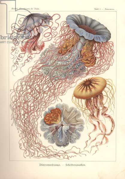 Discomedusae - Scheibenquallen, Pl. 8 from 'Kunstformen der Natur', engraved by Adolf Giltsch, published 1904 (colour litho)