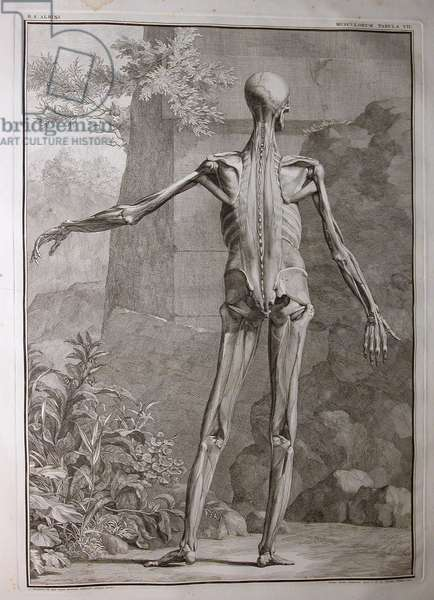 Albinus I, Pl. VII: Musculature, illustration from 'Tabulae sceleti et musculorum corporis humani', by Bernhard Siegfried Albinus (1697-1770), published by J.&H. Verbeek, bibliop., Leiden, 1741 (engraving)