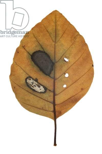Orange leaf with brown spot, 2009 (photographic c-print)