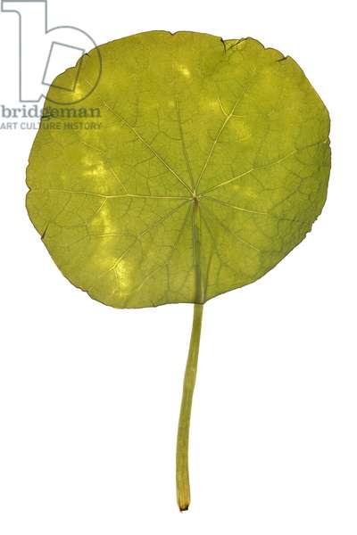 Nasturtium leaf, 2009 (photographic c-print)