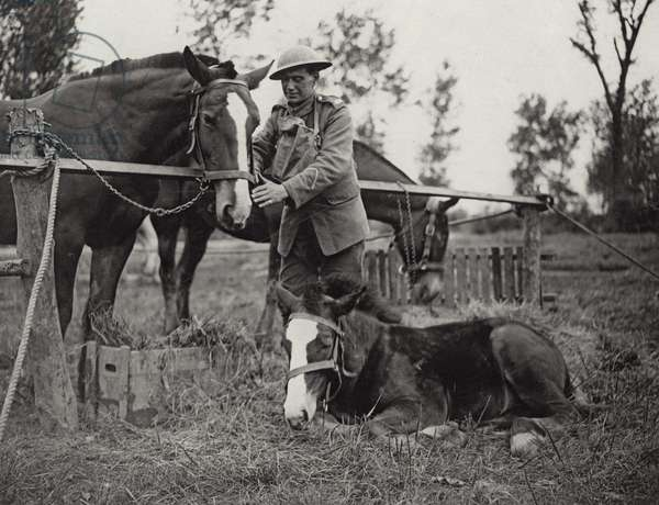 'Sandbag', a battlefield colt, 1914-18 (b/w photo)
