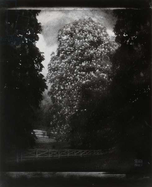 Trees, Long Island, 1905 (b/w photograph)