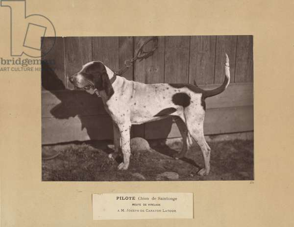 Pilote, Chien de Saintonge, Meute de Virelade, A.M. Joseph de Carayon Latour, 1881 (albumen silver print)