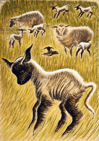 Ewes and Lambs, 1953 (ink & w/c on paper)
