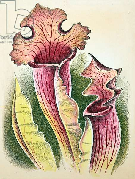 Sarracenia (Pitcher Plant), 1948 (w/c on paper)