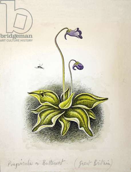 Pinvicula (Butterwort) 1948 (w/c on paper)