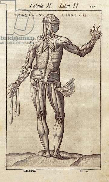 "Anatomical board representing a man on the back. Engraving in """" Anatomia Corporis Humani """" by Juan Valverde De Amusco (1525-1588). Barcelona. Biblioteca de Catalunya (National Library of Catalonia, Barcelona)."