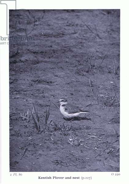 Kentish Plover at nest, from Birds of the British Isles and Their Eggs published by Frederick Warne & Co Ltd, 1958 (b/w photo)