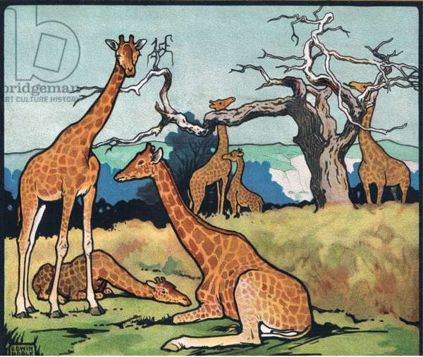 Giraffes, illustration from 'Pads, Paws and Claws' by P. Pycraft, 1924 (colour litho)