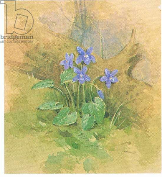 Violets, from source unknown (colour litho)