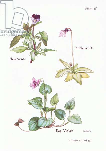Heartsease, Dog Violet, Butterwort, 1951 (colour litho)