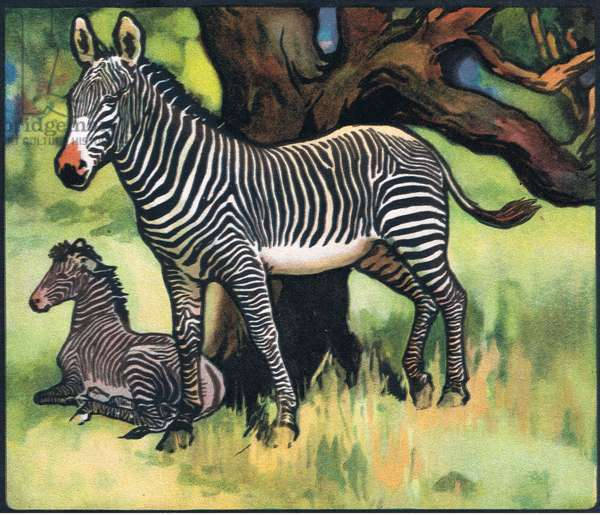 Zebras, illustration from 'Pads, Paws and Claws' by P. Pycraft, 1924 (colour litho)
