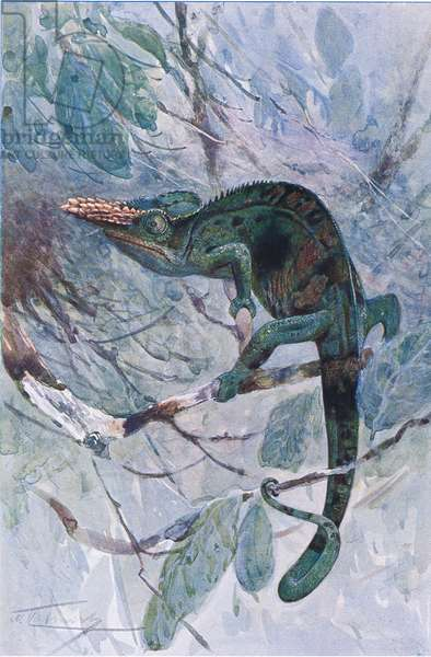 African Chameleon, illustration from'Wildlife of the World', c.1910 (colour litho)