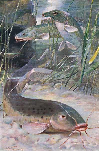 Electric Catfish, Bichir, Trunkfish, illustration from'Wildlife of the World', c.1910 (colour litho)