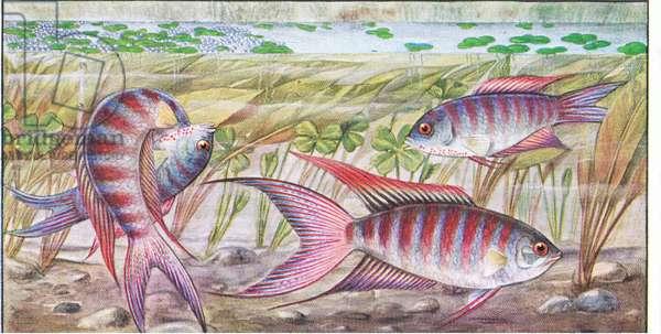 Fish that build a nest: Paradise Fish, from colour Liebig postcard (colour litho)