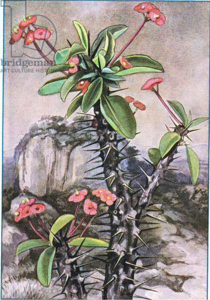 Plants and Grasses, from colour Liebig postcards, 1940's (colour litho)