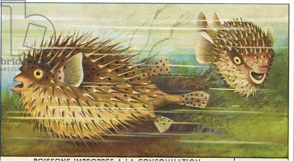 Fish you cannot eat: Porcupine fish, from colour Liebig postcard (colour litho)